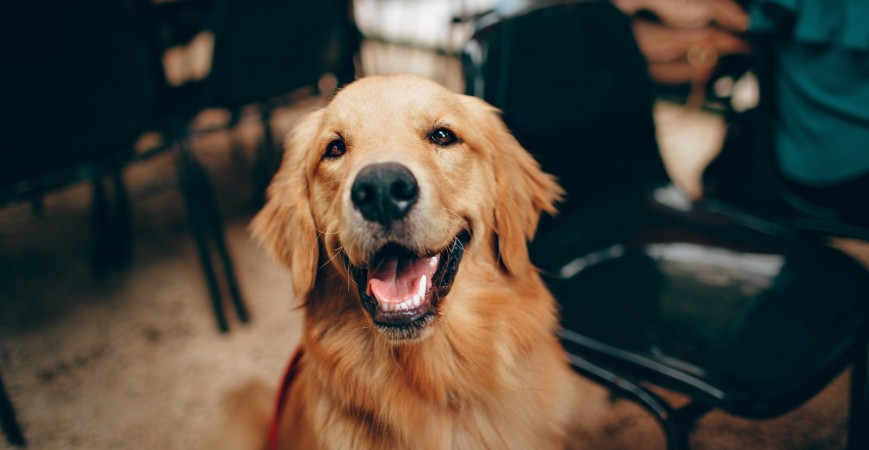 Alimentación de excelente calidad para un Labrador