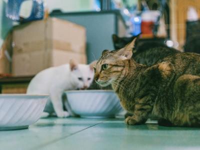 Comida para gatos: húmeda o seca
