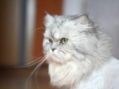 Cuidado y alimentación para gatos persas